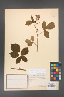 Rubus corylifolius [KOR 18511]