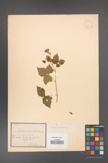 Rubus caesius [KOR 18489]