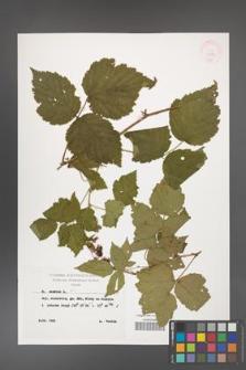 Rubus caesius [KOR 29885]