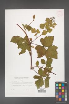 Rubus caesius [KOR 29896]