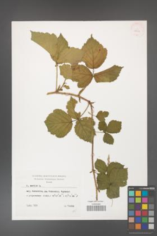 Rubus caesius [KOR 29811]