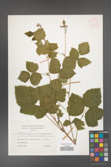 Rubus caesius [KOR 26063]