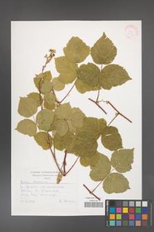 Rubus caesius [KOR 30523]