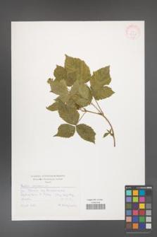 Rubus caesius [KOR 30528]
