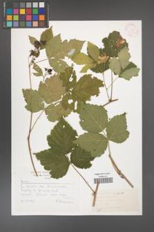 Rubus caesius [KOR 30529]