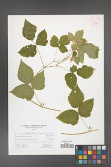 Rubus caesius [KOR 41722]
