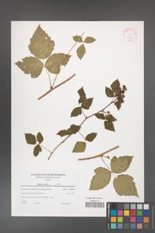 Rubus caesius [KOR 38985]