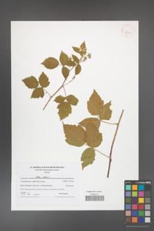 Rubus caesius [KOR 42103]