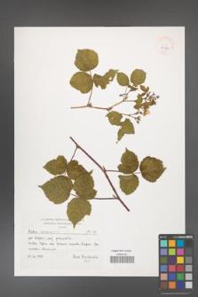 Rubus caesius [KOR 39358]