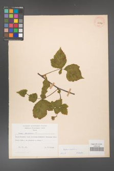 Rubus caesius [KOR 29834]