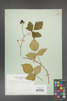 Rubus caesius [KOR 29845]