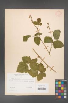 Rubus caesius [KOR 29859]