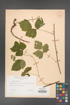 Rubus caesius [KOR 29858]