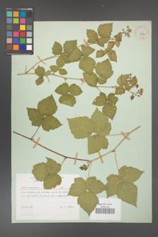 Rubus caesius [KOR 29841]