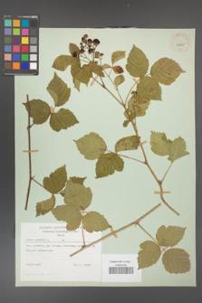 Rubus caesius [KOR 29825]