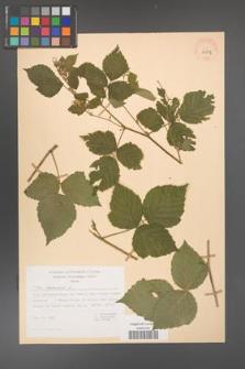 Rubus caesius [KOR 29832]