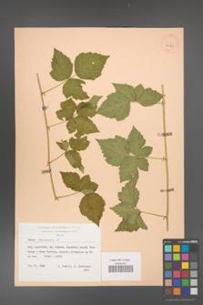 Rubus caesius [KOR 29813]