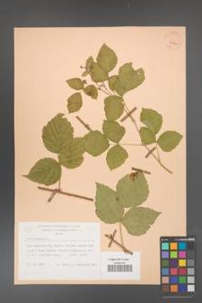 Rubus caesius [KOR 29816]