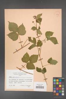 Rubus caesius [KOR 29815]