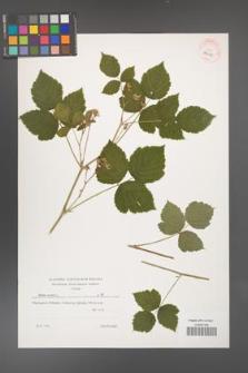 Rubus caesius [KOR 39508]