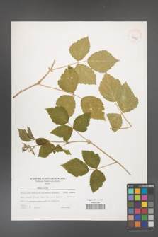 Rubus caesius [KOR 39425]