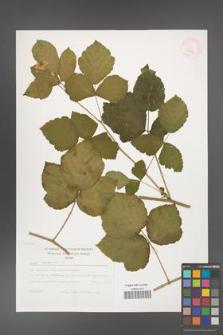 Rubus caesius [KOR 29497]