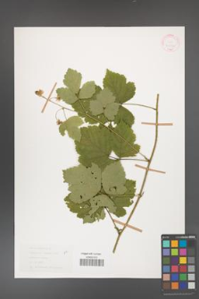 Rubus caesius [KOR 31077]
