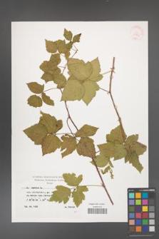 Rubus caesius [KOR 29863]