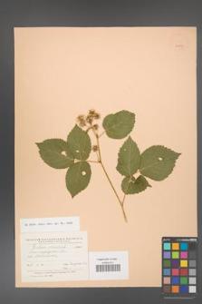 Rubus caesius [KOR 24071]