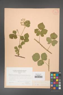 Rubus corylifolius [KOR 27082]