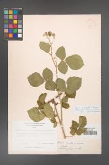 Rubus corylifolius [KOR 18568]