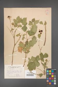 Rubus caesius [KOR 18500]