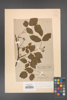 Rubus caesius [KOR 18495]