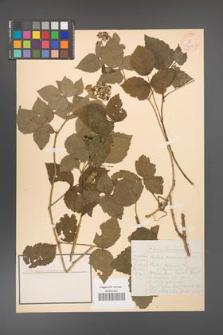 Rubus caesius [KOR 18490]