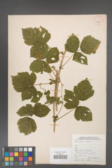 Rubus caesius [KOR 29909]