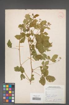 Rubus caesius [KOR 29908]