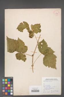Rubus caesius [KOR 29906]