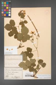 Rubus corylifolius [KOR 18541]