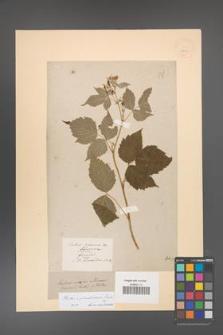 Rubus pseudidaeus [KOR 18508]