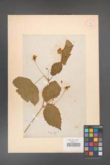 Rubus caesius [KOR 18496]