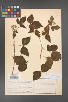 Rubus pseudidaeus [KOR 18507]