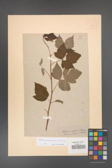 Rubus pseudidaeus [KOR 18509]