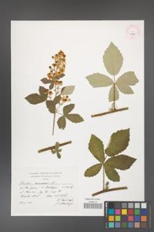 Rubus canescens [KOR 45345]