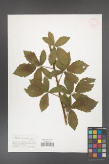 Rubus canescens [KOR 41405]