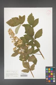 Rubus canescens [KOR 41407]