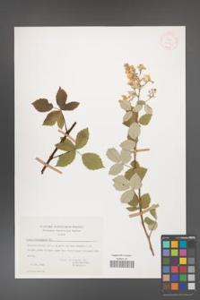 Rubus canescens [KOR 17625]