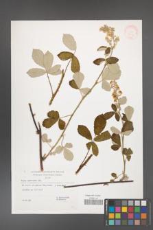 Rubus canescens [KOR 32514]