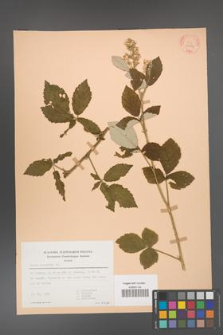 Rubus canescens [KOR 30584]