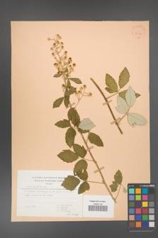 Rubus canescens [KOR 30583]