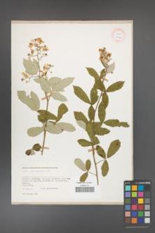 Rubus canescens [KOR 27044]